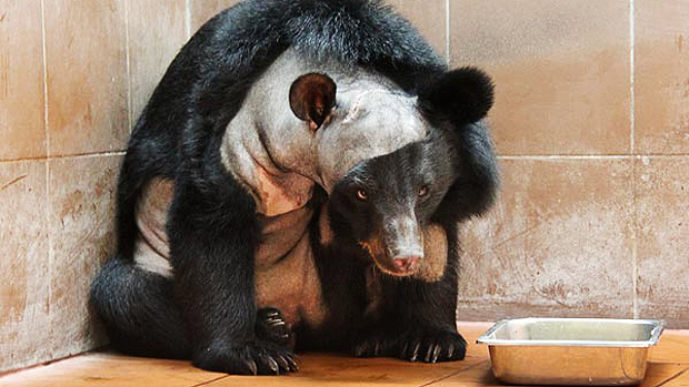 ciencia-urso-champa-cirurgia-cerebro-20130412-01-original.jpeg