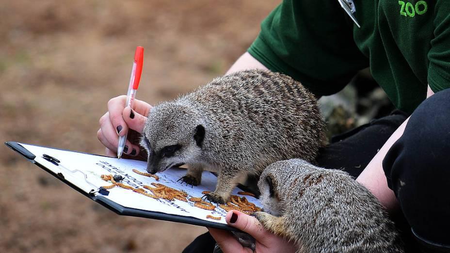 <p>Suricatos durante a contagem anual do Zoológico de Londres</p>