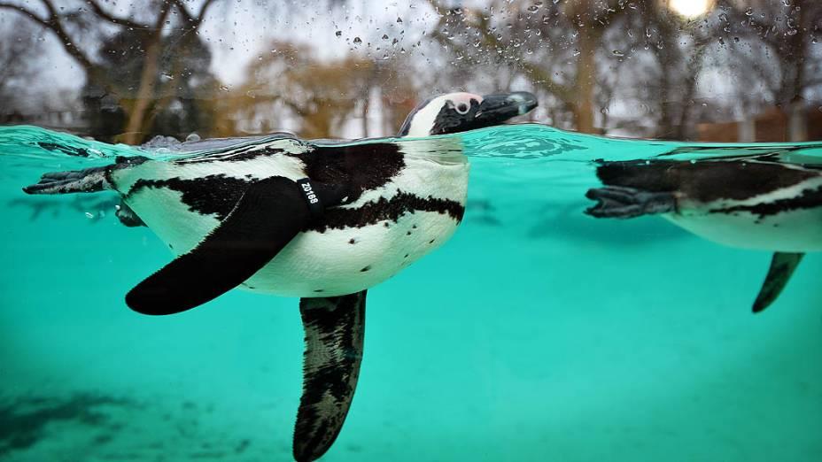<p>Pinguins nadando durante inventário anual do Zoológico de Londres</p>