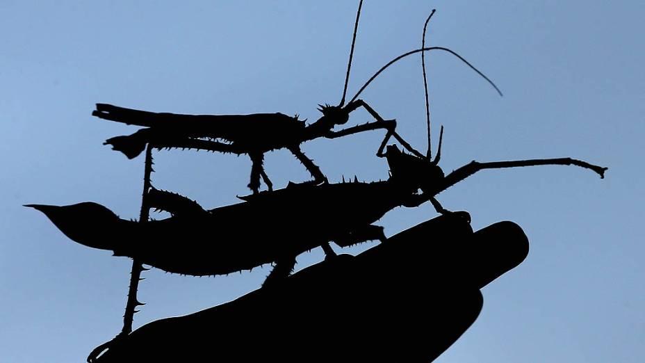 <p>Tratador posa com ninfas da selva da Malásia durante contagem anual no Zoológico de Londres</p>
