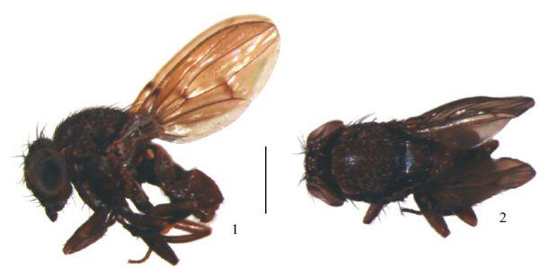 <p>A moscas Drosophila caxiuana tem esse nome porque foi encontrada na Floresta Nacional de Caxiuanã, no Pará, único local onde a espécie foi registrada até agora. Ela é uma das 16 moscas que fazem parte do grupo Annulimana, de ocorrência rara nas amostras de drosofilídeos</p>