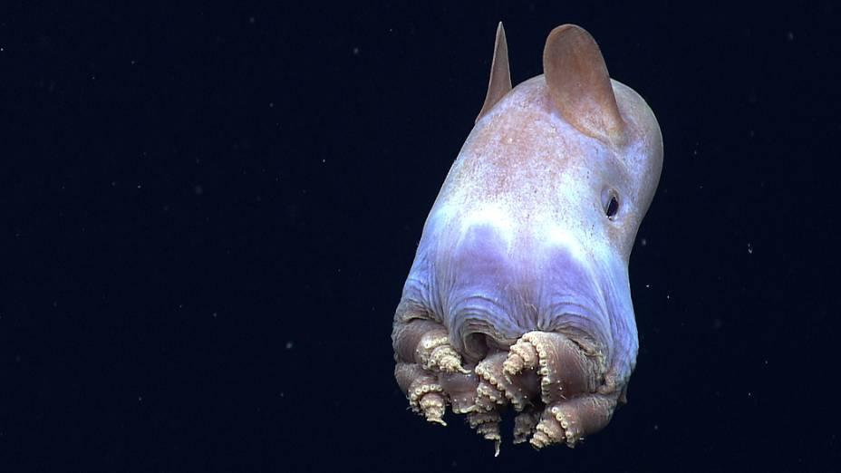 <p>Oitavo lugar:Em uma expedição ao Golfo do México, pesquisadores registraram pela primeira vez esse animal conhecido como polvo Dumbo ('Grimpoteuthis') enrolando os tentáculos em espirais. Esse comportamento ainda não foi explicado pela ciência</p>