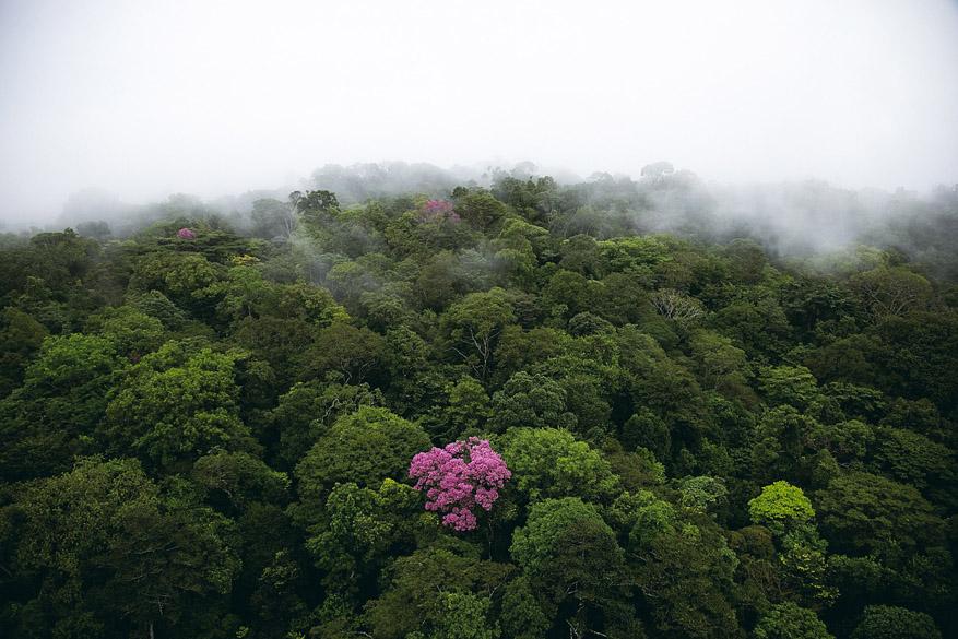 <p>Ipê-roxo na montanha de Kaw, Guiana (4°30' N – 52°00' O)</p>