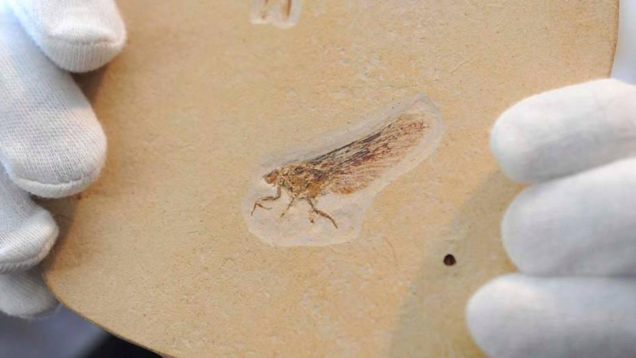 """<p>Fóssil recém-descoberto do inseto """"quimera"""", no Museu de História Natural de Stuttgart, Alemanha</p>"""