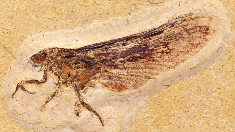 <p>O inseto adulto tem partes do corpo parecidos com o de uma libelula</p>