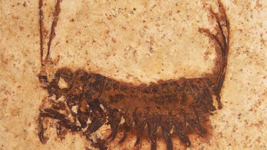 <p>A larva desse inseto pré-histórico possui de 10 a 32 milimetros de comprimento</p>