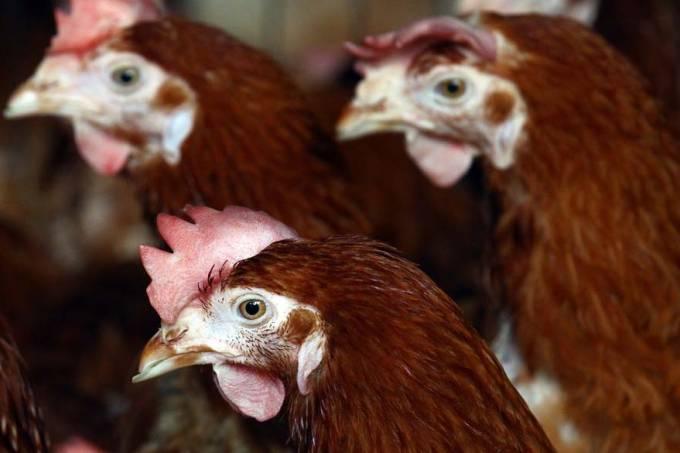 galinhas-granja-inglaterra-20111229-original.jpeg
