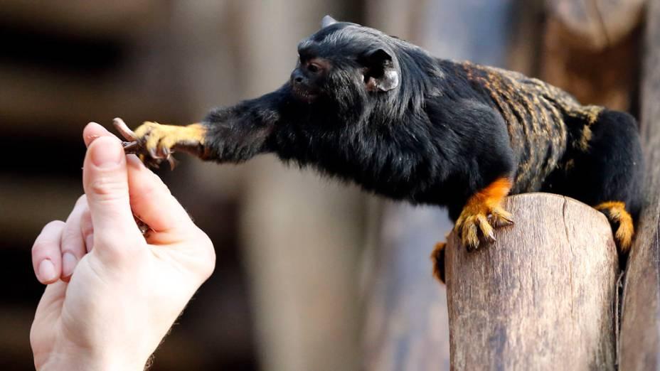 <p>Tratador alimenta sagui com um gafanhoto no Zoológico de Duisburg na Alemanha</p>