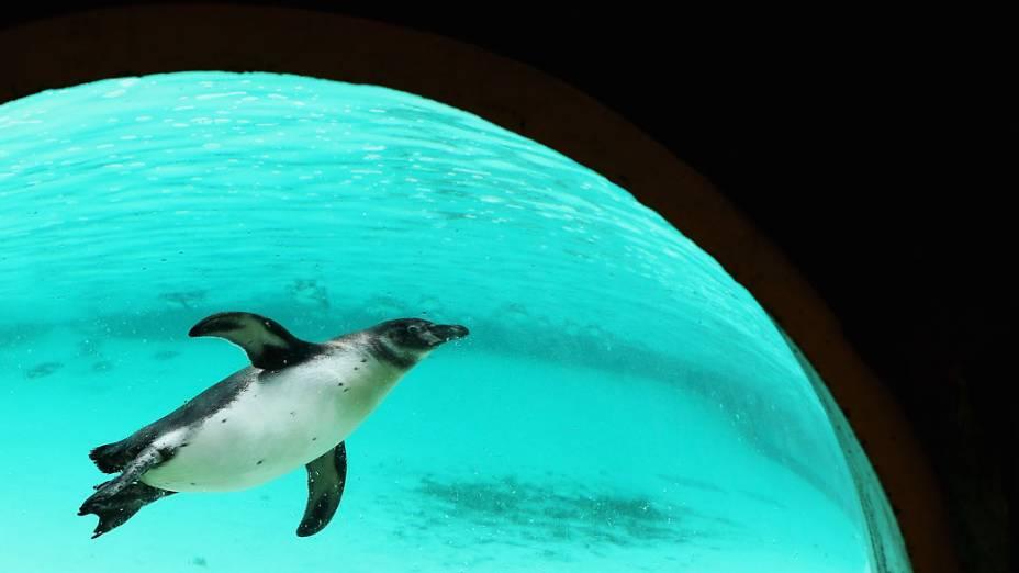 <p>Pinguim em seu recinto durante inventário anual do zoológico de Londres</p>