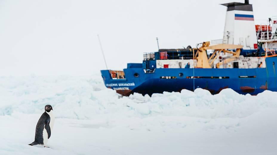 Pinguim fotografado próximo ao Navio russo Akademik Shokalskiy que segue preso no entre blocos de gelo na Antártica