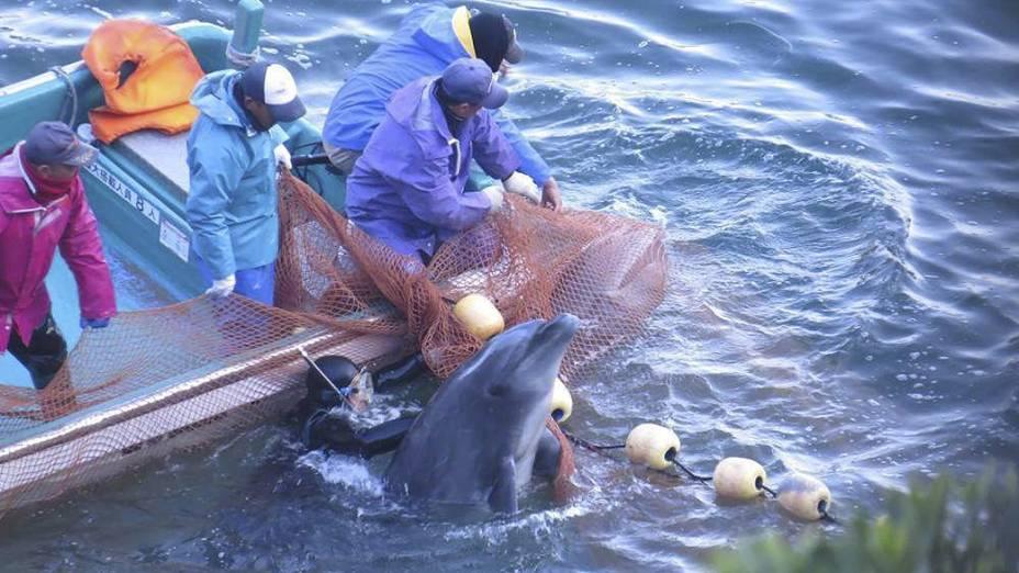 Fotografia fornecida pela organização Sea Shepherd mostra o processo de seleção de golfinhos durante a captura anual realizada em Taiji, no Japão