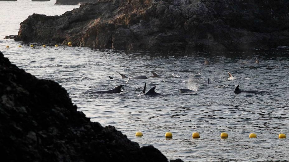 Golfinhos foram atraídos para uma área rasa da enseada de Taiji, no Japão, onde foram caçados por um grupo de pescadores