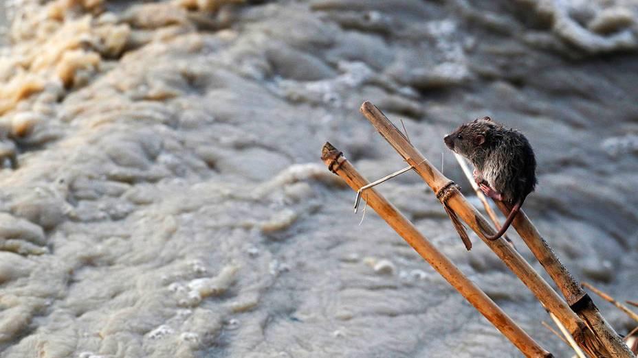 Rato repousa sobre uma vara durante subida das águas do rio Yamuna, em Nova Délhi, na Índia