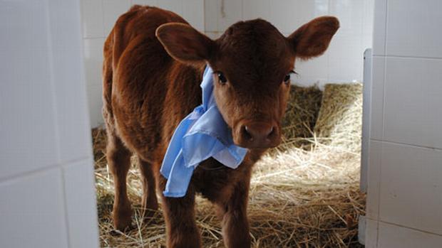 isa-vaca-leite-materno-20110609-original.jpeg