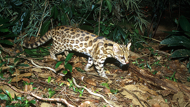 Leopardus guttulus, nova espécie descoberta pelos pesquisadores