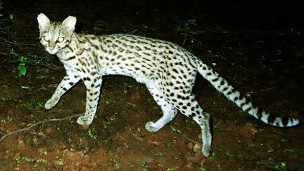 Leopardus tigrinus, espécie de gato-do-mato que ficou com o nome antigo, apesar de ser a menos conhecida