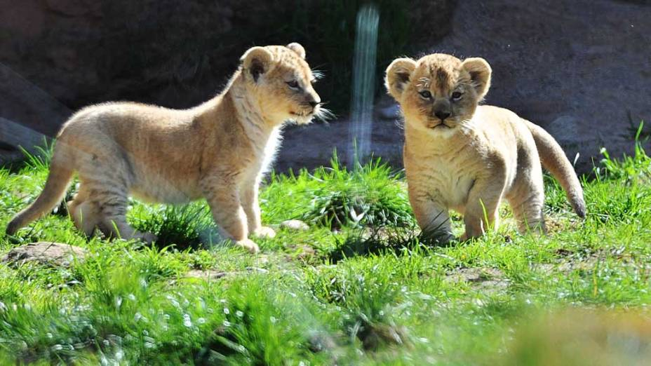 O último leão-do-atlas visto pelo homem na natureza foi morto na região da Cordilheira do Atlas, no norte da África, em 1922
