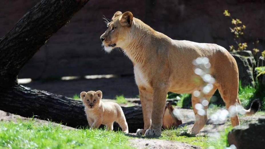 Atualmente, existem vários projetos internacionais para tentar preservar a espécie, cuja sobrevivência depende da reprodução em cativeiro