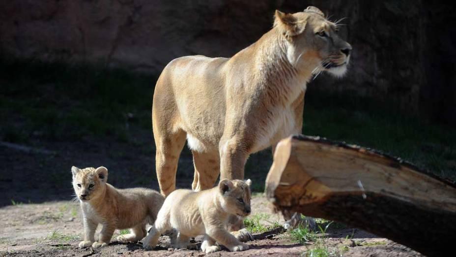 A leoa Binta cuida dos filhotes dentro do zoológico em Hannover, norte da Alemanha. Binta deu à luz a dois leõzinhos no dia 24 de fevereiro, mas eles foram apresentados somente nesta sexta-feira (15/04)