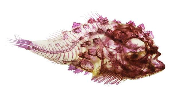 <p>Peixe natural das águas do pacífico fotografado para a exposição no Aquário de Seattle, nos Estados Unidos</p>
