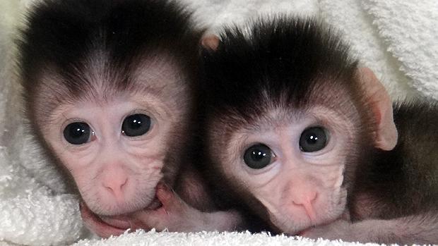 macaco-transgenico-original.jpeg