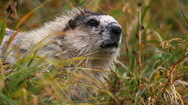 marmota2011-06-22-original.jpeg
