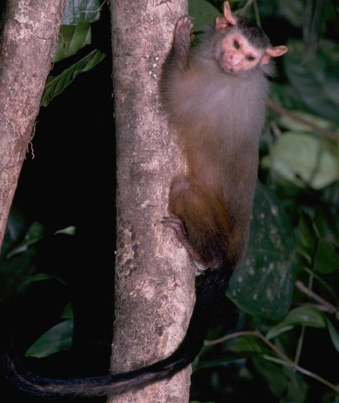 <p>O Mico rondoni foi o único mamífero identificado pelos pesquisadores do Museu Paraense Emílio Goeldi. O animal é encontrado apenas em Rondônia, em uma área delimitada pelos Rios Mamoré, Madeira e Ji-Paraná e pela Serra dos Pacaás Novos. A espécie é relativamente rara e pode ser a mais ameaçada do gênero</p>