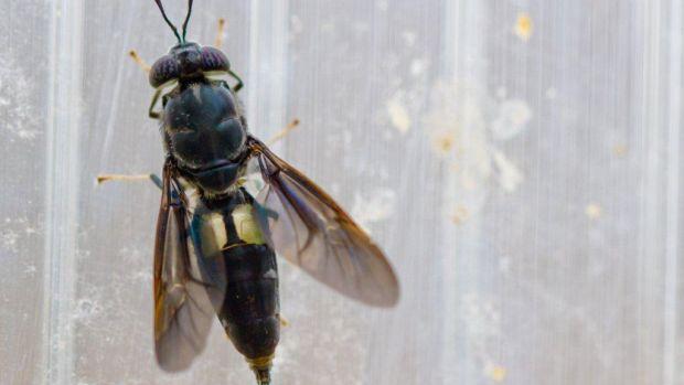 """<p>Black soldier fly: as larvas desta mosca são utilizadas para produzir a chamada """"refeição de insetos"""", que serve de alimento para porcos, peixes e camarões</p>"""