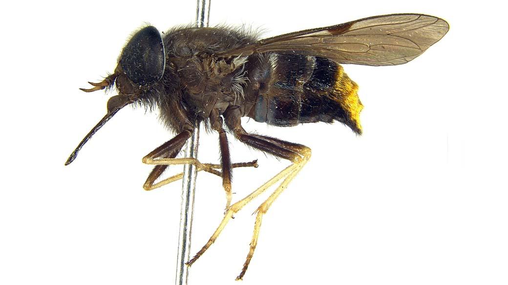 A mosca Beyonce, ou, Scaptia (Plinthina) Beyonceae, com seu abdome dourado