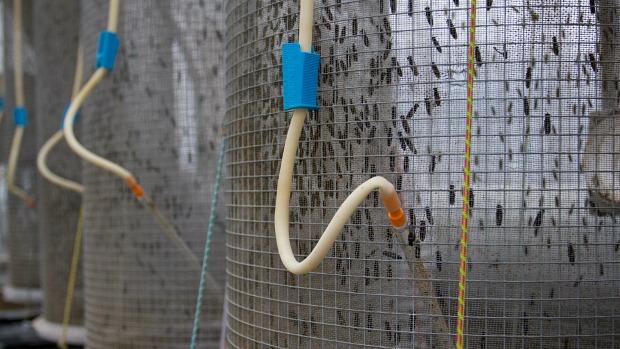 <p>Incubadora: As moscas são colocadas em gaiolas cilíndricas. Ali, se reproduzem e depositam seus ovos. Cada uma vive, em média, cinco dias e coloca cerca de 900 ovos</p>