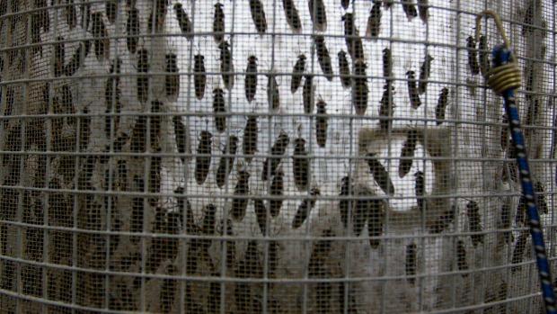 <p>Reinício: Um grupo de larvas é direcionado a outro recipiente, onde crescem até virarem moscas. Depois, são colocadas de volta à gaiola para procriar, dando início novamente ao ciclo</p>