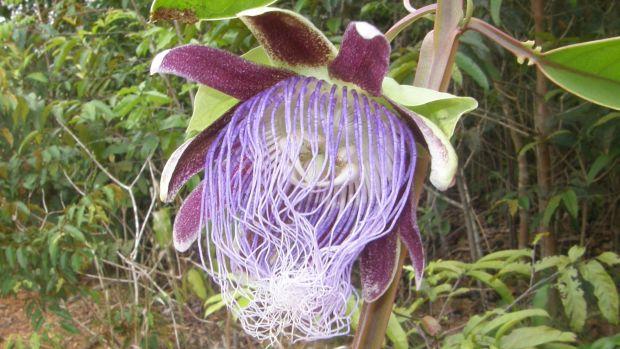 <p>Passiflora longifilamentosa, um tipo de maracujá, é encontrada na região da Calha Norte, um mosaico de unidades de conservação nos estados do Pará, Amapá e Amazonas</p>