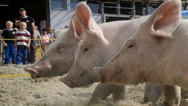 porco-domestico-genoma-20121115-original.jpeg