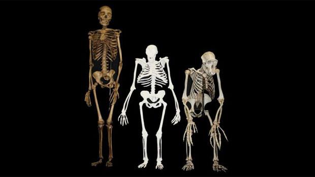 sapiens-sediba-pan-20130412-original.jpeg