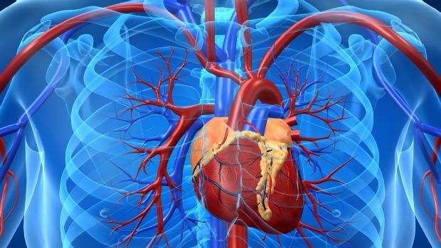 sistema-circulatorio-coracao-original.jpeg