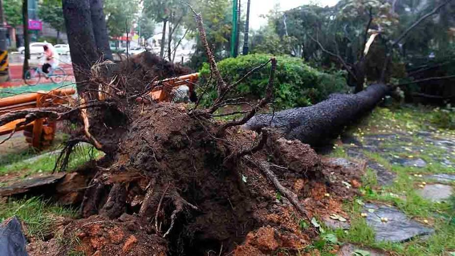 Árvore caída bloqueia passagem em uma de calçada Jeongeup, ao sul de Seul, na Coreia do Sul