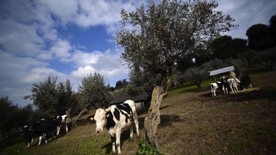 Vacas nos jardins de Castel Gandolfo, que será a residência de Bento XVI por dois meses