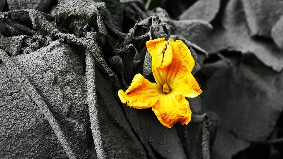 <p>Flor desabrocha de vegetação coberta com cinzas vulcânicas da erupção do Monte Sinabung em Mardingding, norte de Sumatra, Indonésia</p>