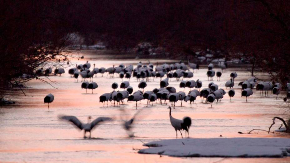 Aves Grous da Manchúria no rio Kushiro, na ilha japonesa de Hokkaido