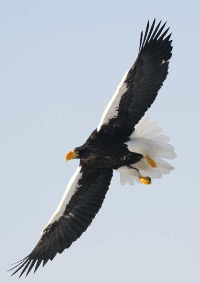 Águia de Steller na ilha japonesa de Hokkaido