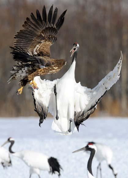 Ave Grou da Manchúria se defende da águia de Steller na ilha japonesa de Hokkaido