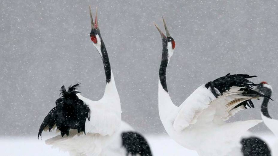 Aves Grous da Manchúria na ilha japonesa de Hokkaido