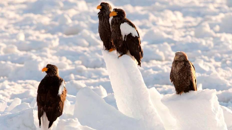 Águias de Steller na ilha japonesa de Hokkaido