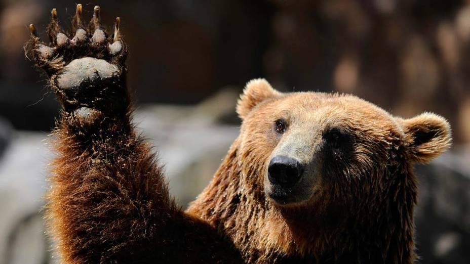 No zoológico de Madri, na Espanha, urso-pardo acena com a pata