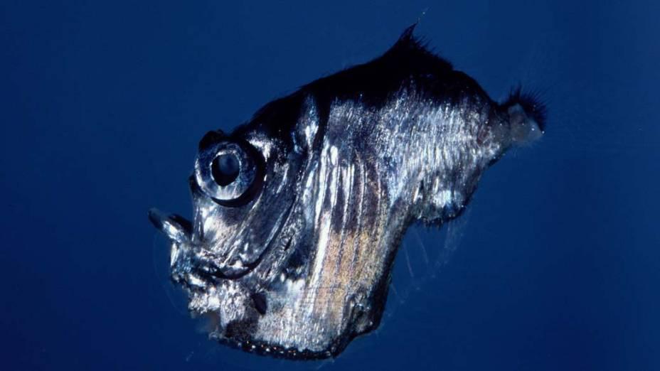 Cientistas do Queensland Brain Institute utilizaram câmeras de alta tecnologia para fotografar criaturas do mar a mais de mil metros de profundiade, na cidade de Cairns, na Austrália - Queensland Brain Institute/Justin Marshall/AFP