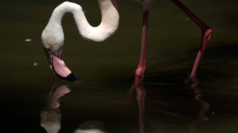 Flamingo bebe água no zoológico de Hellabrunn, na Alemanha. O zoológico é hoje o maior da Europa