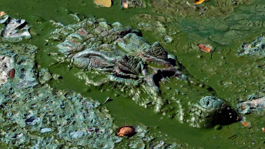 Jacaré nada em meio à poluição da Lagoa da Pampulha, um dos cartões postais de Belo Horizonte, em Minas Gerais - Marcelo Prates/Hoje em Dia/Folhapress