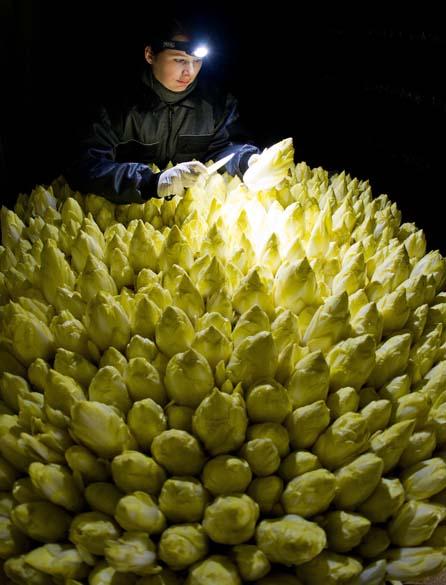 Mulher verifica produção de chicória em Pretscher, Alemanha