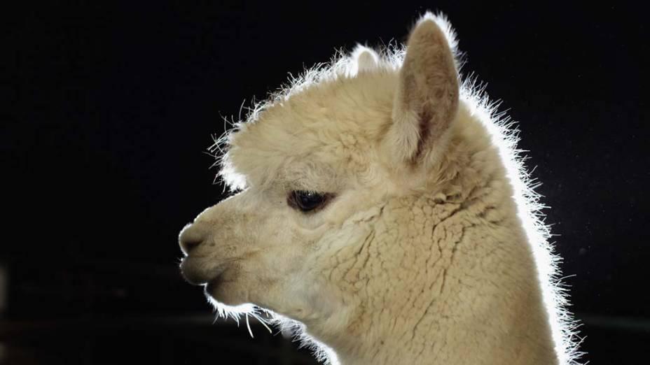 Alpaca participa de mostra na cidade de Warwickshire, Inglaterra