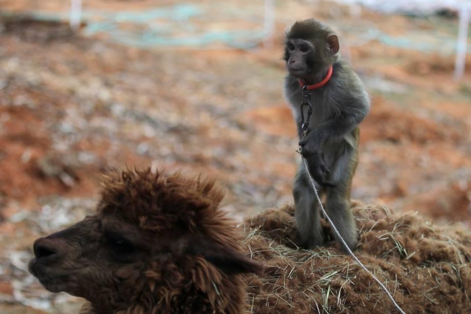 Macaco é colocado sobre alpaca para turistas tirarem fotos no zoológico de Kunming, na província de Yunnan, na China. No calendário chinês, 2016 é o Ano do Macaco, o que faz a cena ser simbólica